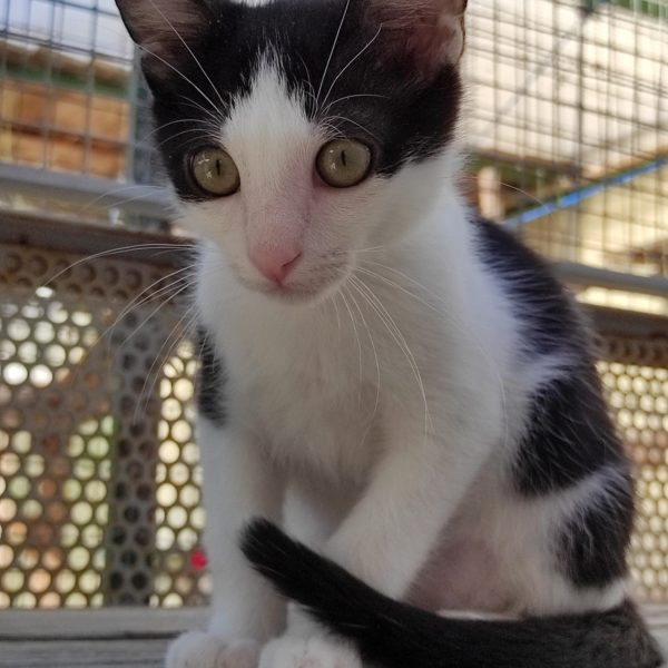 Pignon (chaton)