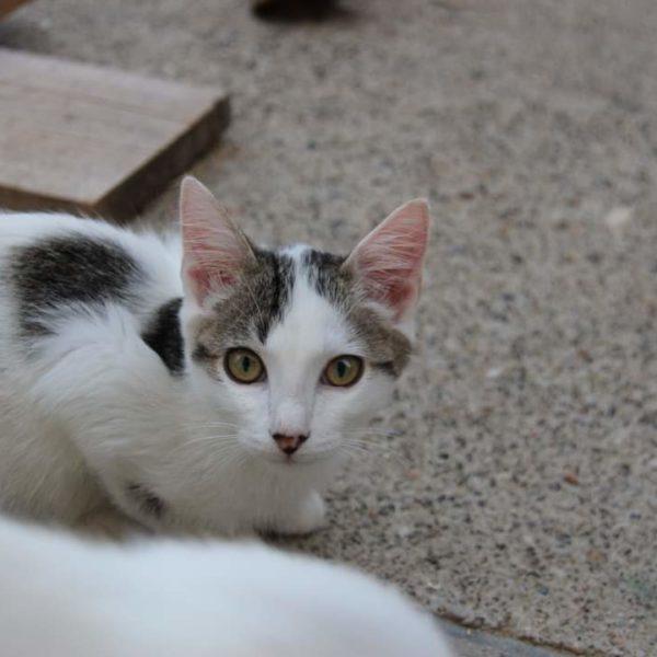 Rangiroa (chaton)